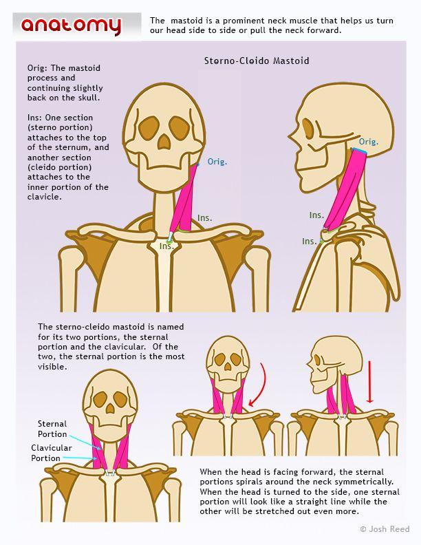Sterno Cleido Mastoid. #Anatomia para dibujo | ANATOMIA | Pinterest ...