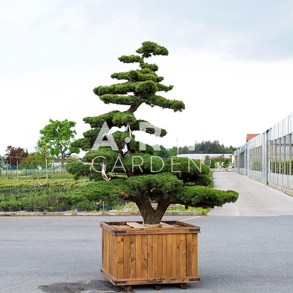 Ilex crenata kimme arbres nuage japonais bonsai geant for Arbres jardin japonais