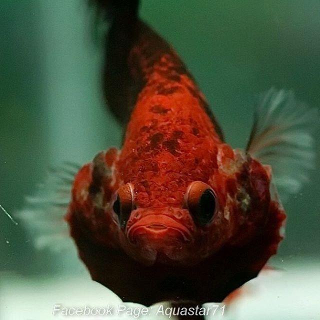 صورة جميلة عن قرب لوجه سمك فايتر أحمر ك وي بعدسة المربي تايلندي Aquastar71 Fish Pet Betta Instagram Posts