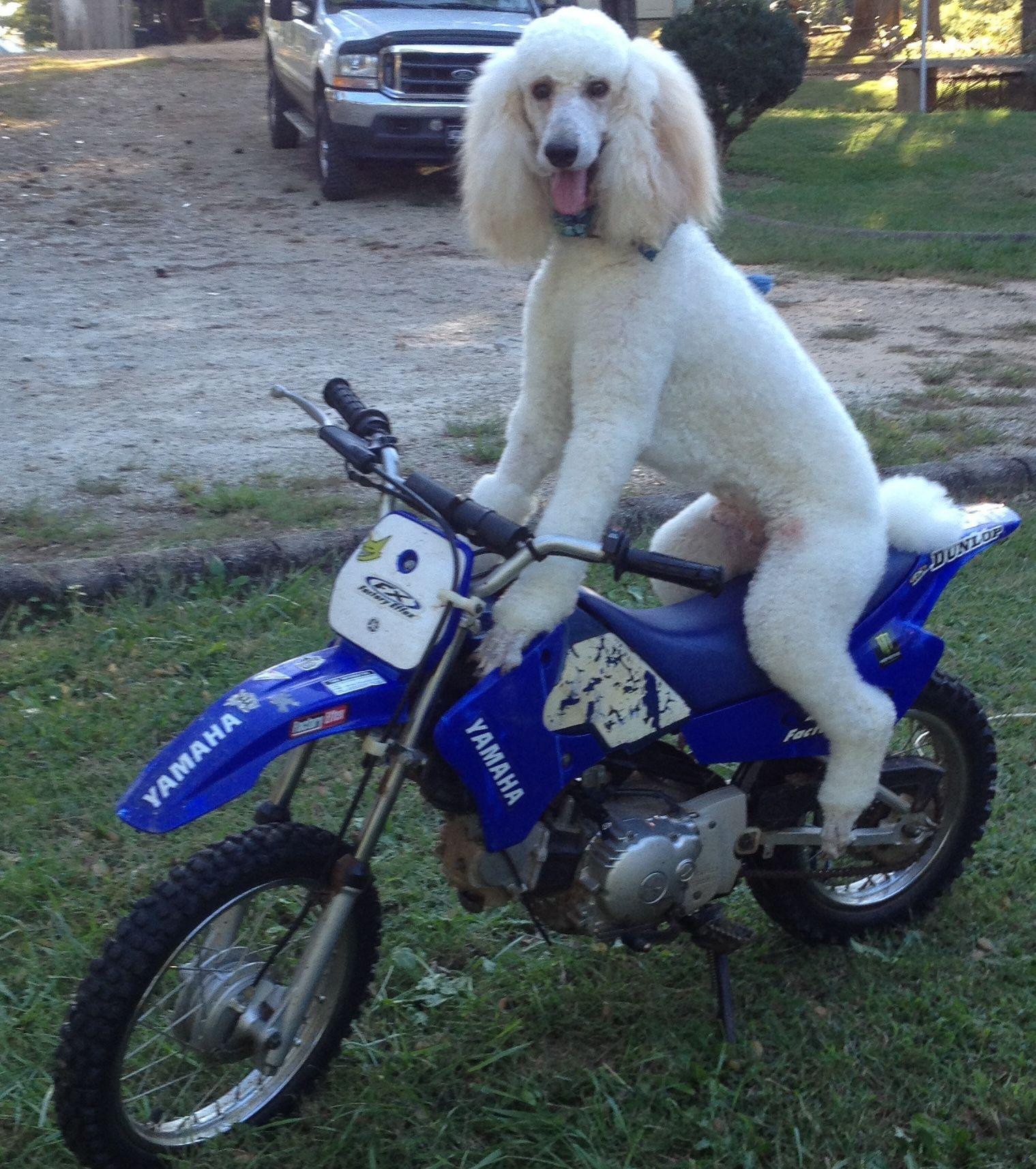 The Coolest Dog Ever Rusty The Standard Poodle Loves To Ride Anything Dirt Bikes 4 Wheeler Golf Cart Car Or Truck Poodle Dog Poodle Beloved Dog
