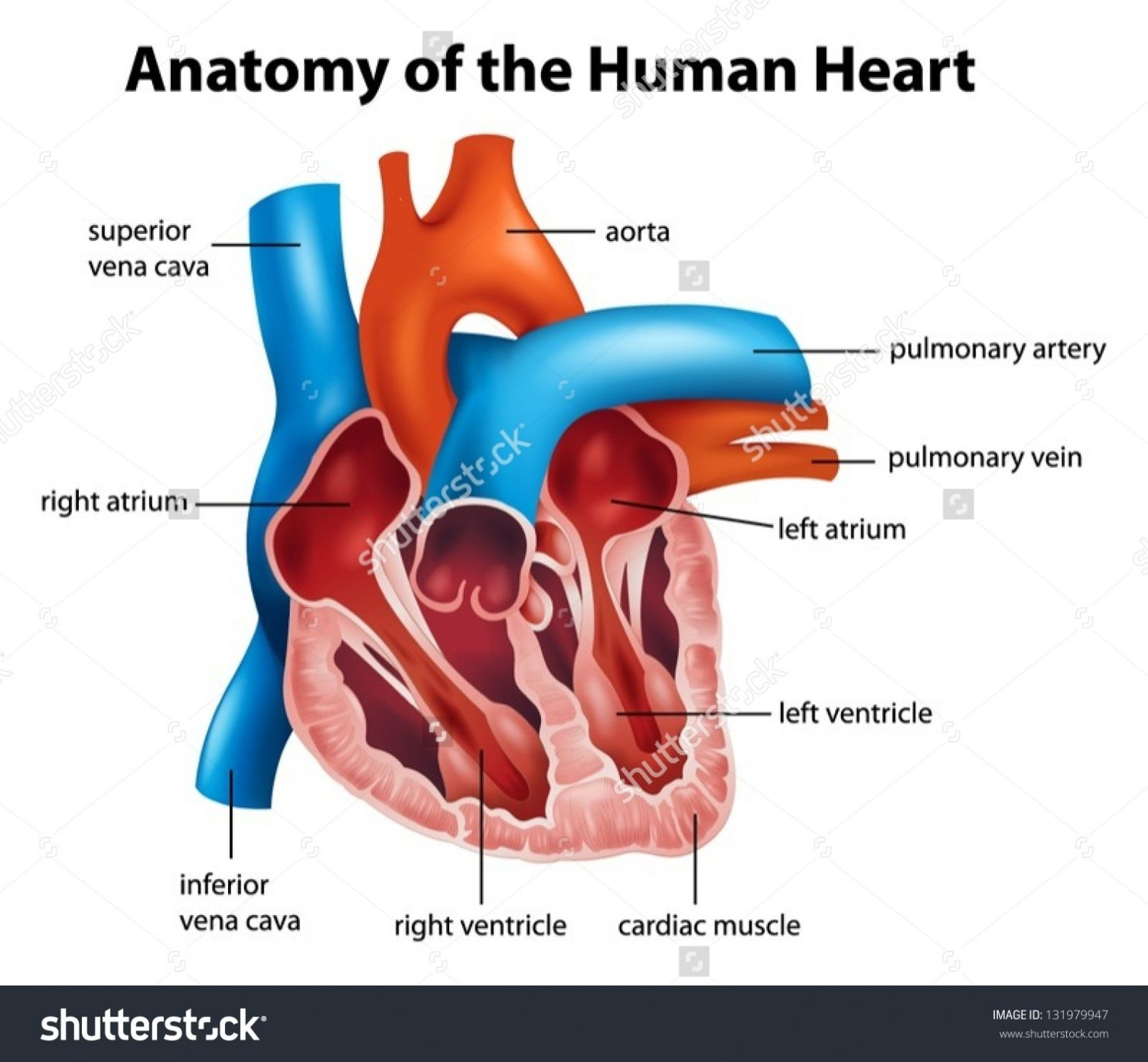 Labeled Pictures Of The Human Heart Human Anatomy Pictures
