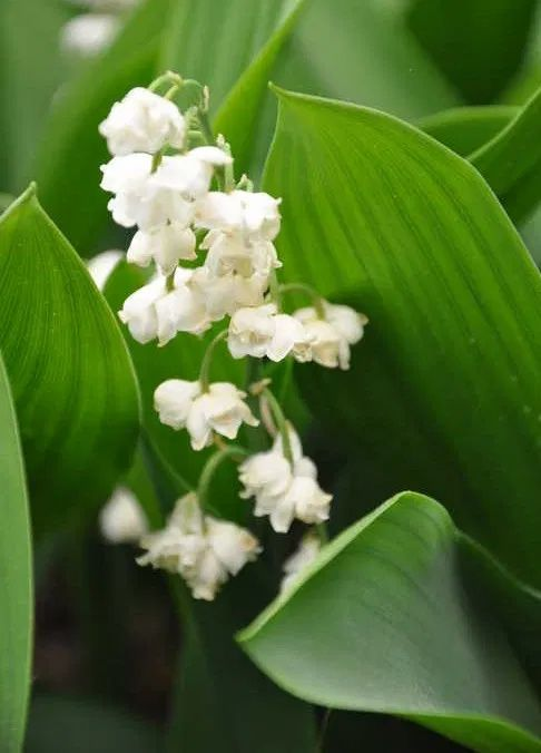 Lily Of The Valley Plant How To Grow Care For Convallaria Majalis In 2020 Growing Lilies White Lily Flower Lily Of The Valley