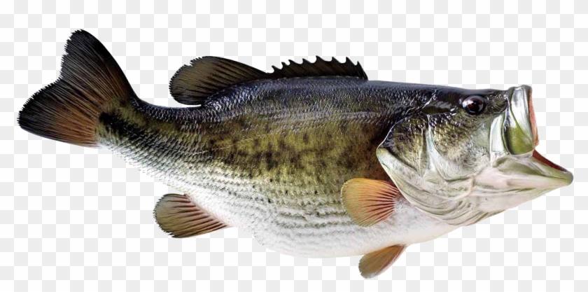 Largemouth Bass Decal Largemouth Bass Fishing Decals Fish