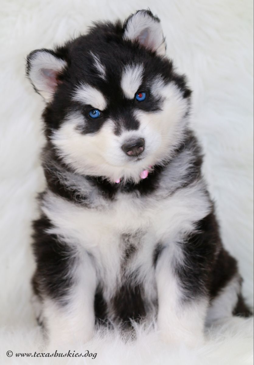 5 Week Old Photo Shoot Just A Sweet Little Husky In 2020 Husky
