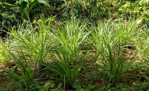 Kasvit jotka pitävät ötökät ja hyttyset loitolla