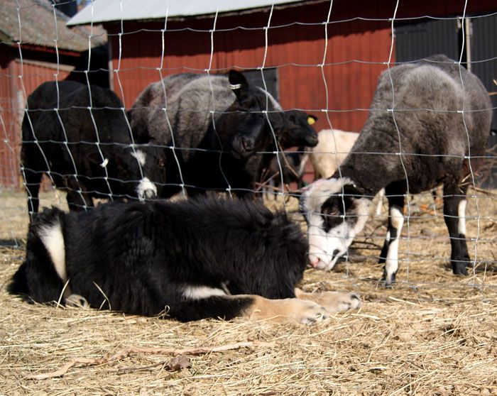 Tibetan mastiff puppy sleeps beside the sheep.