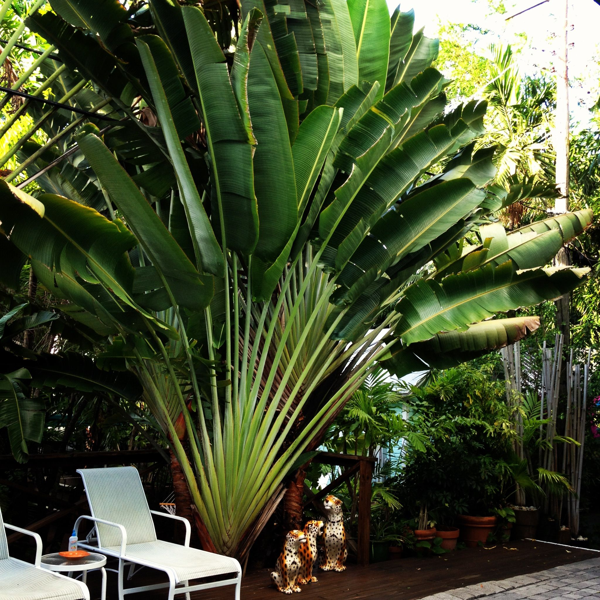 Travelers Palm. Can be grown from seeds easily. Ravenala ...