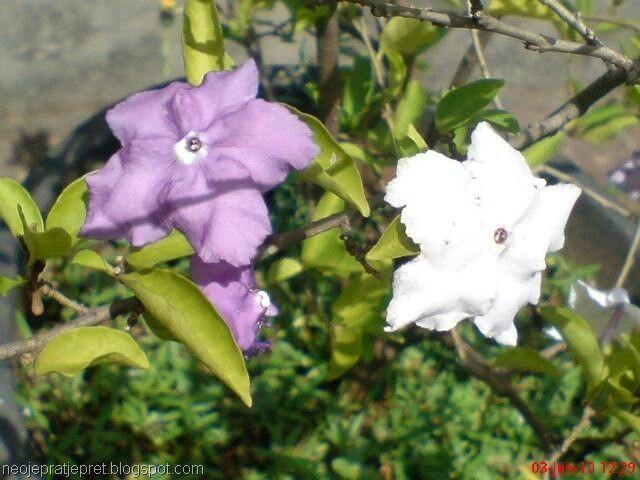 Bunga Magnolia Di Indonesia