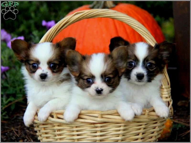 Faithful Papillon Puppies Puppies Papillon Puppies For Sale