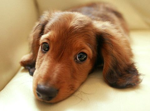Miniature Or Zwergteckel Dachshunds Have A Typical Weight Of 8