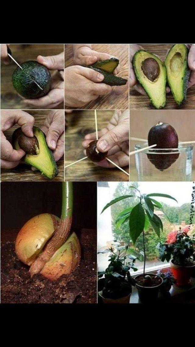 clever the planet pinterest garten pflanzen und avocado baum. Black Bedroom Furniture Sets. Home Design Ideas