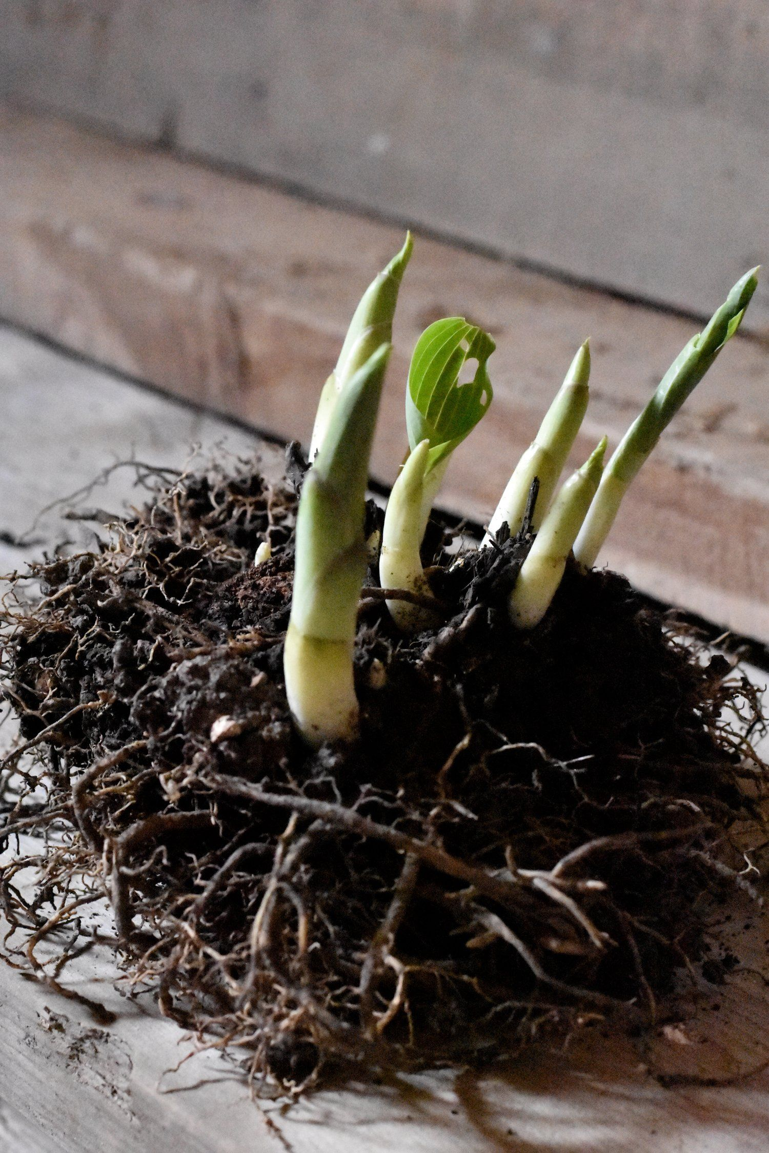 When And How To Divide And Transplant Hostas Summer Vibes