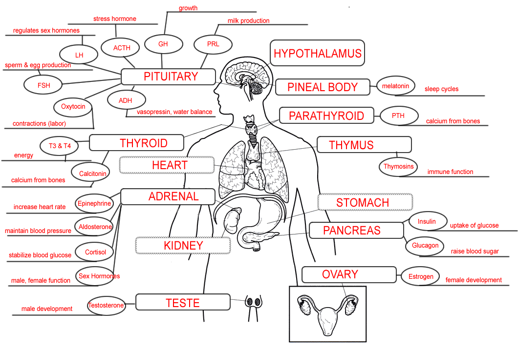 Endocrine System Concept Map | Bazinga | Pinterest | School, Anatomy ...