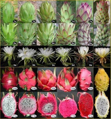 Growing pitayas huerta pinterest plantas jardiner a - Arbre fruit du dragon ...