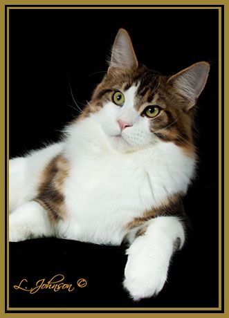 A Registered Cattery Breeder Located In Florida Pretty Cats All Cat Breeds Cattery