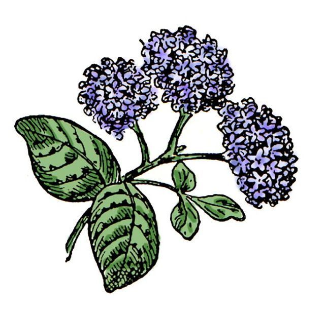 free high quality flower clip art for all your projects pinterest rh in pinterest com hydrangea clip art images hydrangea clip art border free