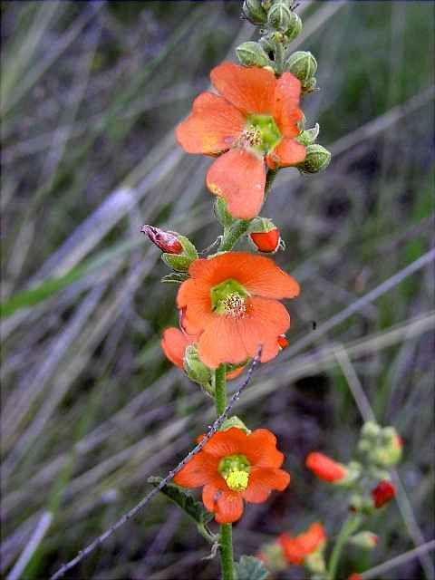 Globe Mallow Is A Native Plant That Grows Wild On Our