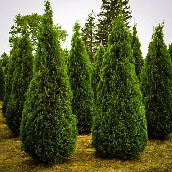 Emerald Green Arborvitae Buy Emerald Thuja Online The Tree Center Emerald Green Arborvitae Arborvitae Emerald Arborvitae