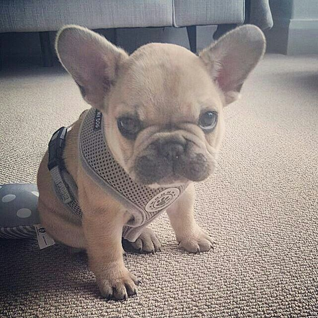 """""""You're 20 minutes late for my Walkies!"""", Bey is one annoyed French Bulldog Puppy❤️❤️ @beythefrenchie"""