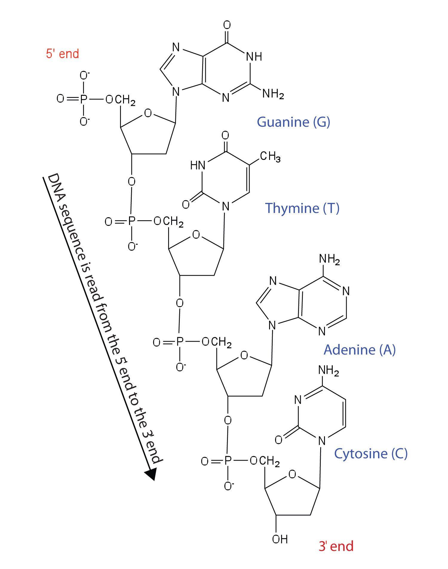 Memorable Nucleic Acids Worksheet Answers