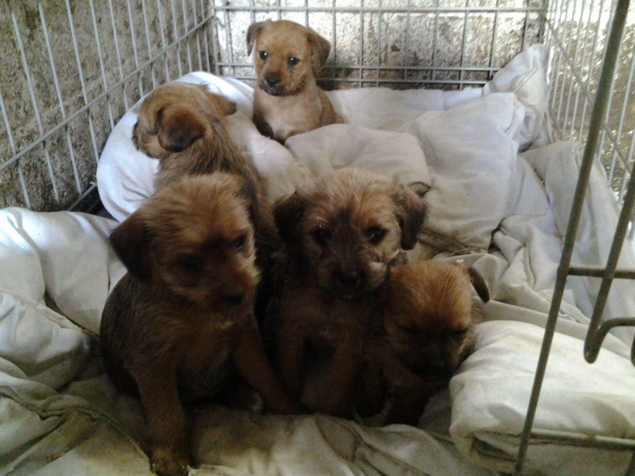 Border Terrier Yorkie Border Terrier Yorkie Terrier