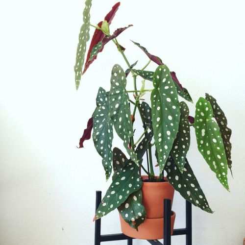 Begonia Maculata Via My Rare Plant Follow Style House Plants