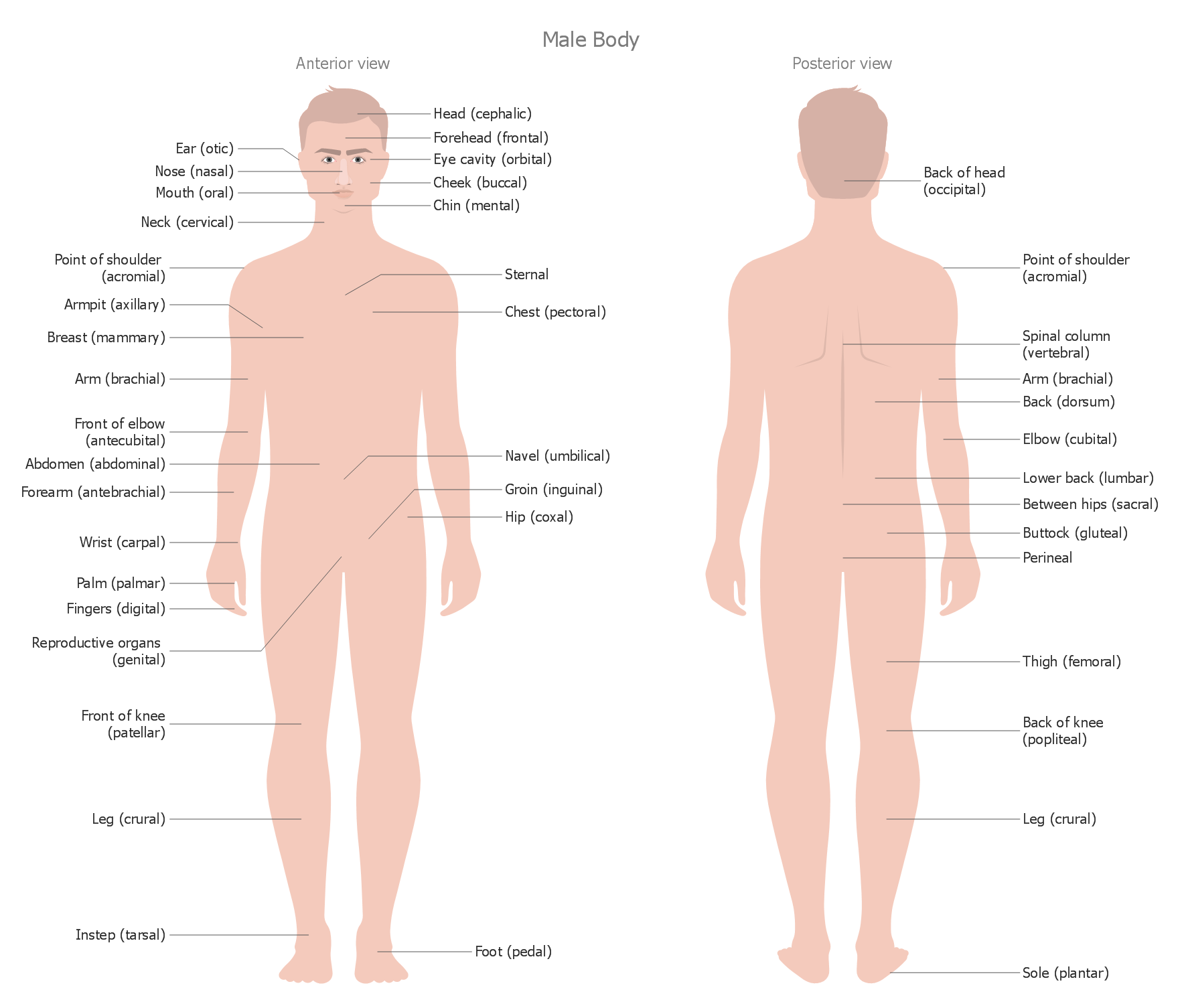 Human Anatomy Male Body This Sample Represents The Interior And