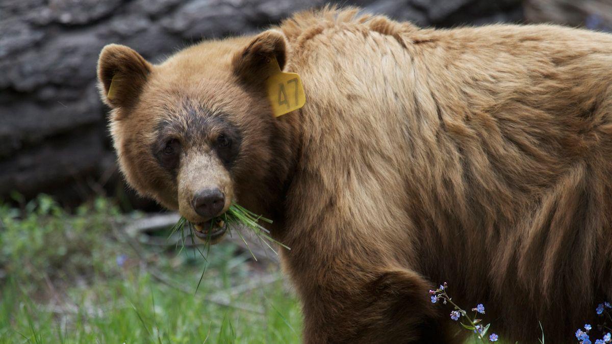 Where Do Bears Go Gps Trackers Follow Bears In Yosemite National Park Nbc Bay Area Yosemite Yosemite National Park Yosemite Bears