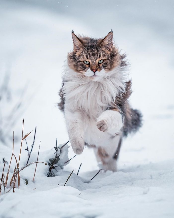Owners Let Their Norwegian Forest Cat Roam Freely Outside, And He Looks Majestic (32 Pics) | Bored Panda