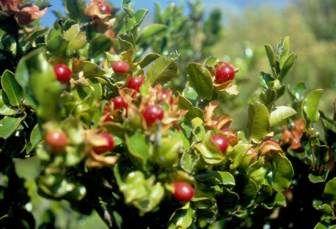 JAMAICAN CHERRY SEEDS 50 Muntingia Calabura Panama Berry Strawberry Fruit