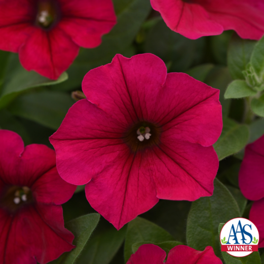 Petunia Wave Carmine Velour 2019 Aas Flower Winner Petunias Flower Seeds Flower Pots