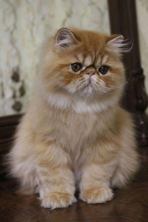 Pin By Riley Malikov On Kitty Cats Persian Kittens Cute Cats