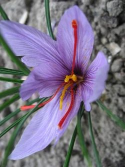 Saffron: The World's Most Expensive Spice: Welcome to the 19th in a series looking at herbs and spices. This one looks at Crocus Sativus, Saffron. ...