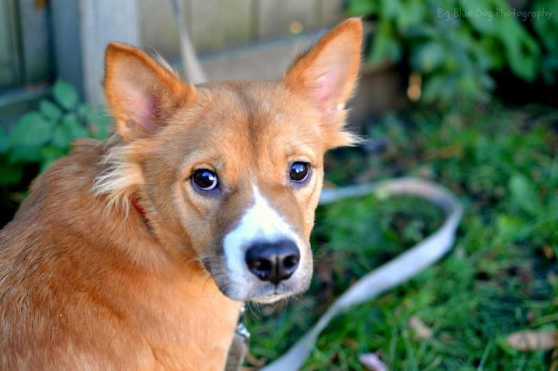 Petfinder Adoptable Dog Chow Chow Minneapolis Mn Toes