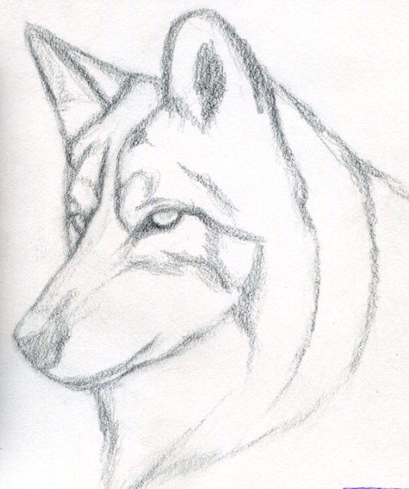 Drawings Of Wolves: Simple Wolf Sketch