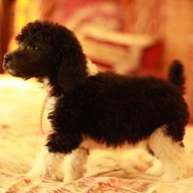 Tuxedo Standard Poodle Puppies For Sale Tuxedo Poodle Breeder