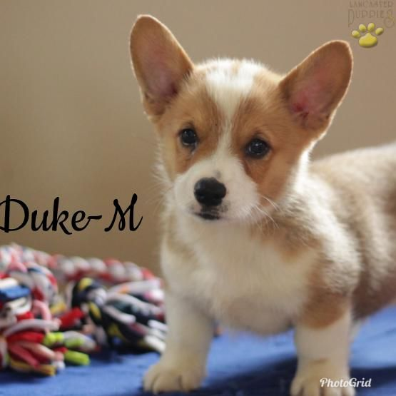 Darren Welsh Corgi Pembroke Puppy For Sale In Atglen Pa