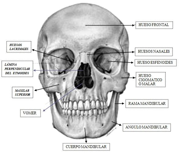 Huesos cara | Anatomía para el movimiento | Pinterest | Huesos cara ...