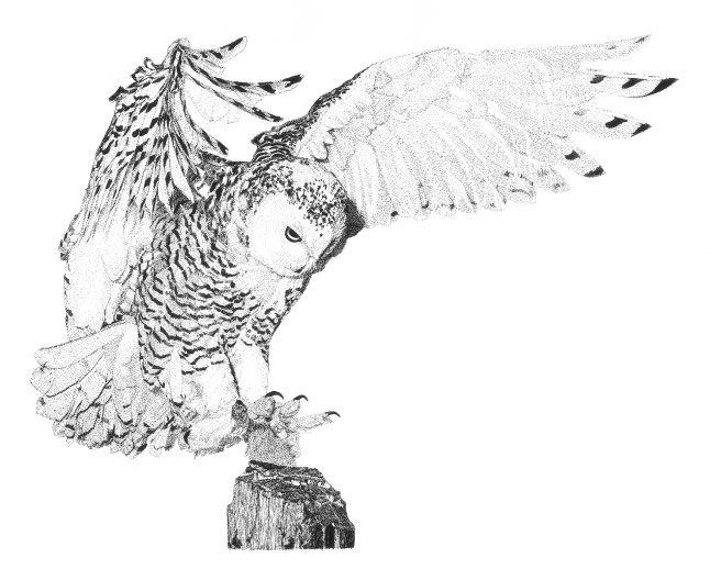 snowy owl sketch - Google Search