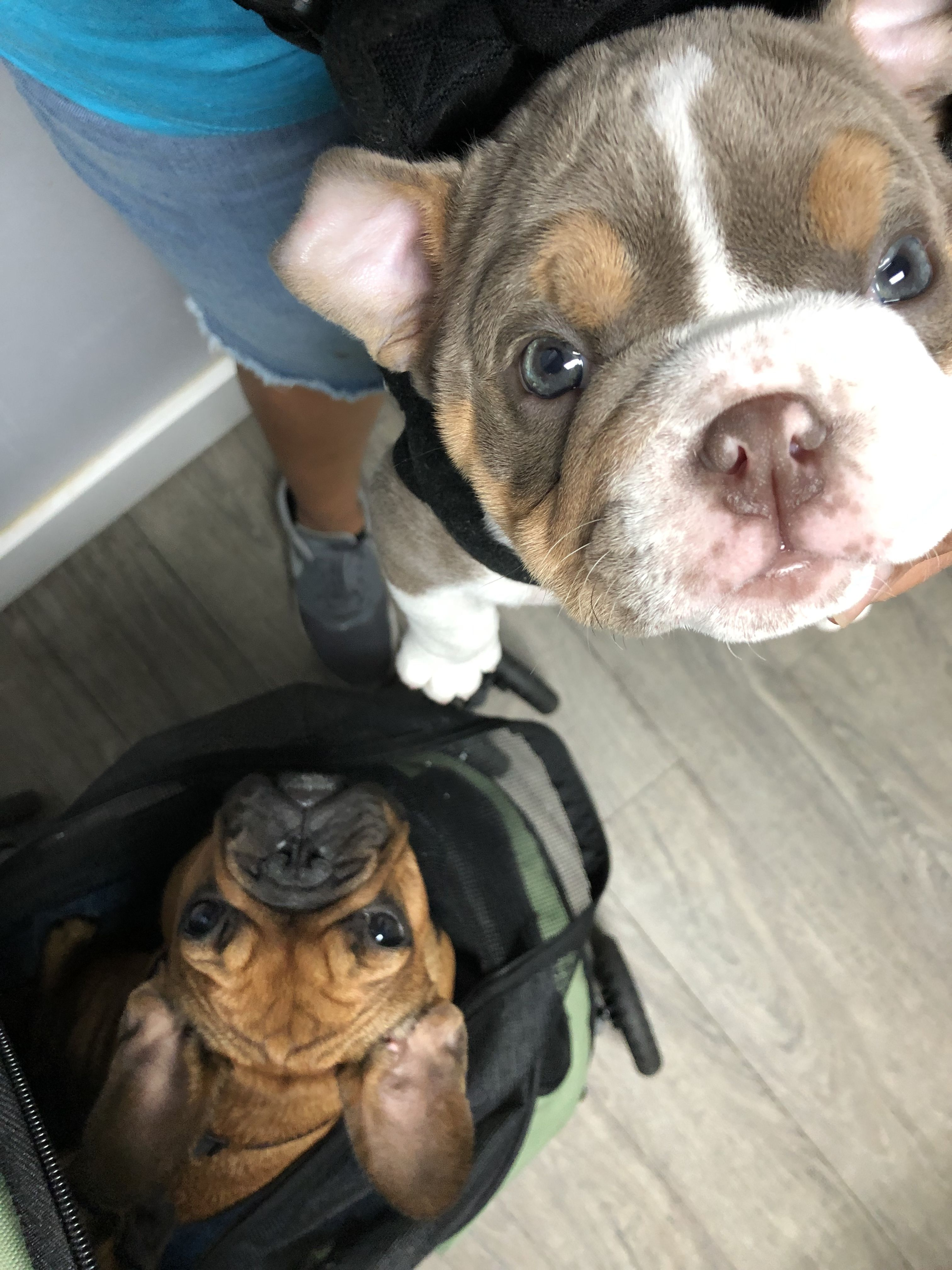 French Bulldog Puppies For Sale In South Bend Indiana Ideas