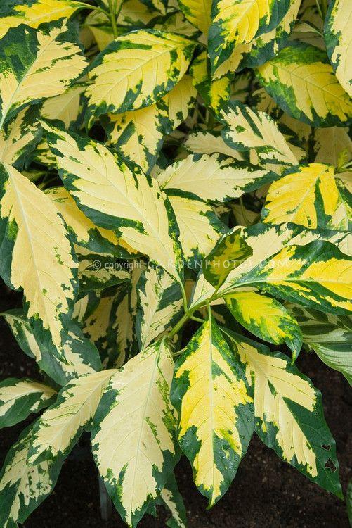 Variegated Houseplant Graptophyllum Pictum Caricature