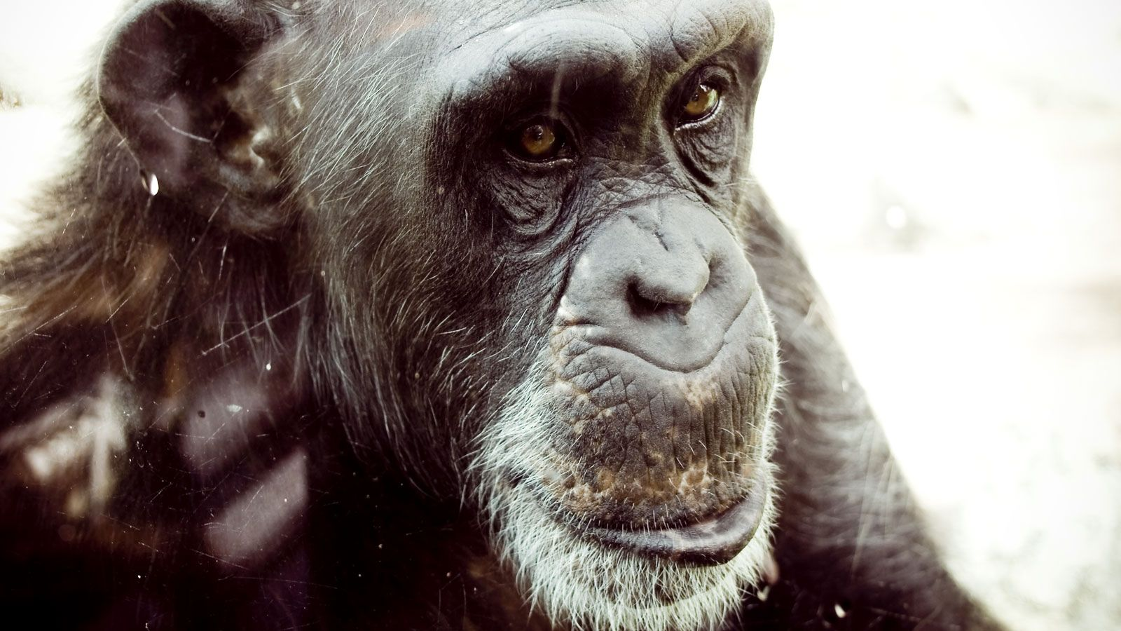 Wild and Captive Chimpanzees to Get Strongest Protections
