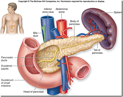The pancreas is a mixed exocrine & endocrine gland. Main pancreatic ...