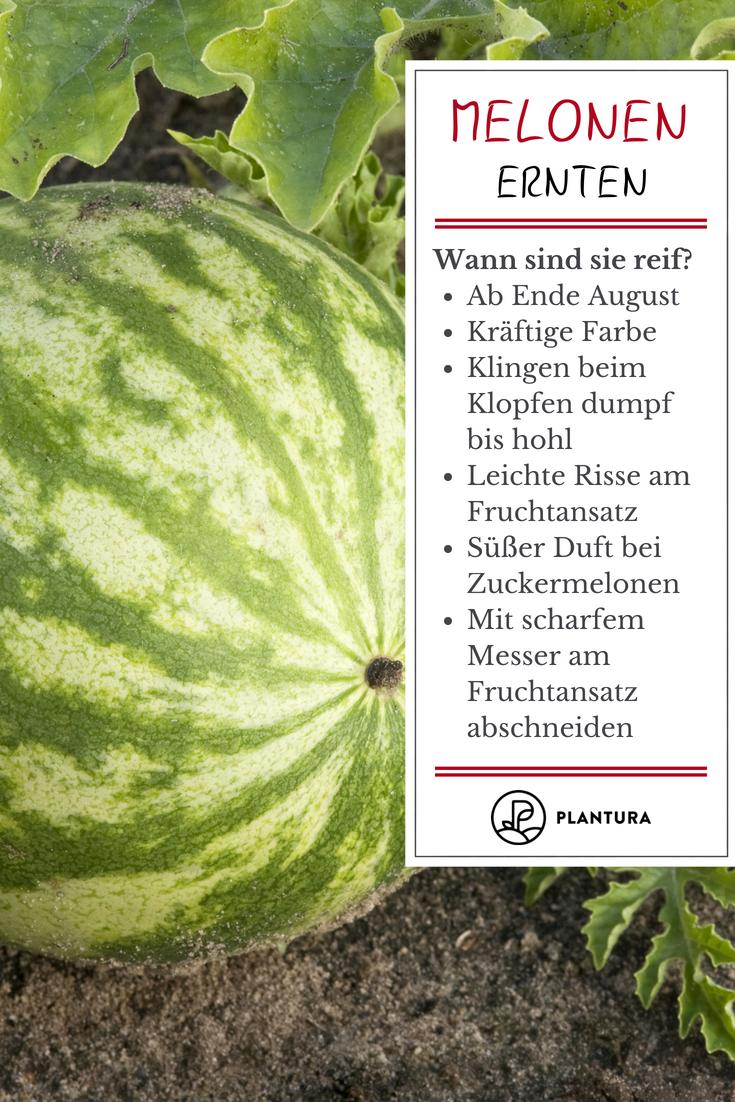 Wassermelonen Ernten Und Lagern Experten Tipps Plantura Wassermelone Anbauen Kartoffeln Pflanzen Melonenpflanze