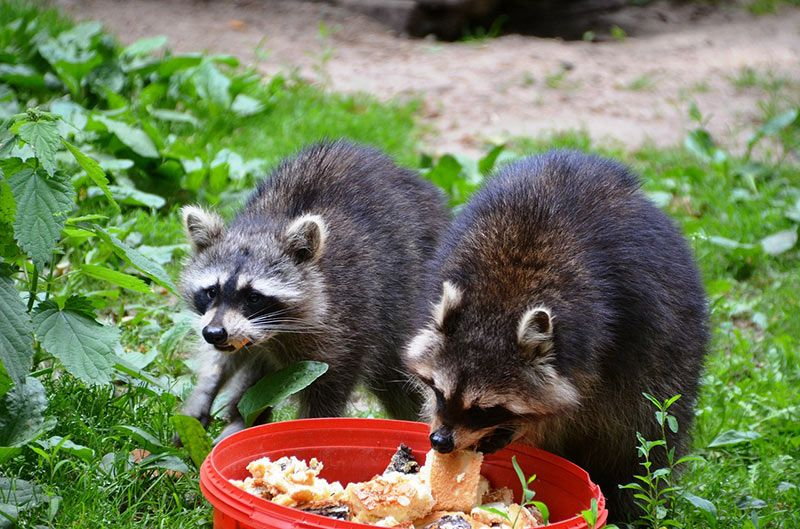 How to Keep Raccoons Out of Garden 6 Ways Garden