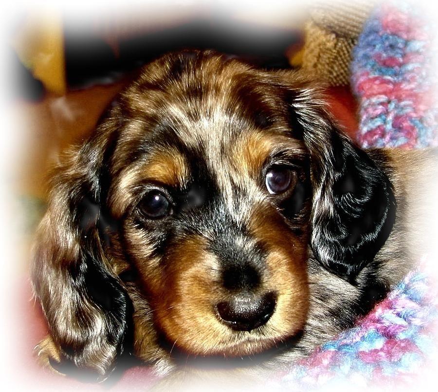 Dapple Dachshund Pup By Victoria Sheldon Dapple Dachshund