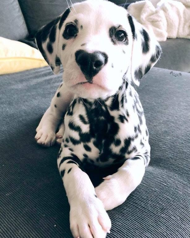 Little Guy Has A Heart On His Nose 3 Paw Nose Heart Dalmatian Dog Pup Puppies Love Dog Cute Socute Black Cute Dogs Cute Animals Cute Baby Animals