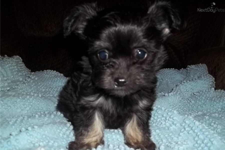 Pin By Gwen Davis On Animals Chihuahua Poodle Mix Cute Funny Animals Puppies