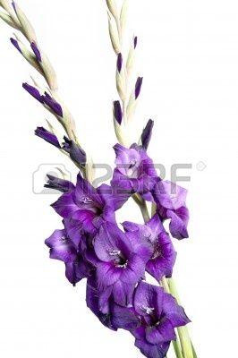 Growing Gladiolus Summer Flowering Bulbs Gladiolus Gladiolus Flower