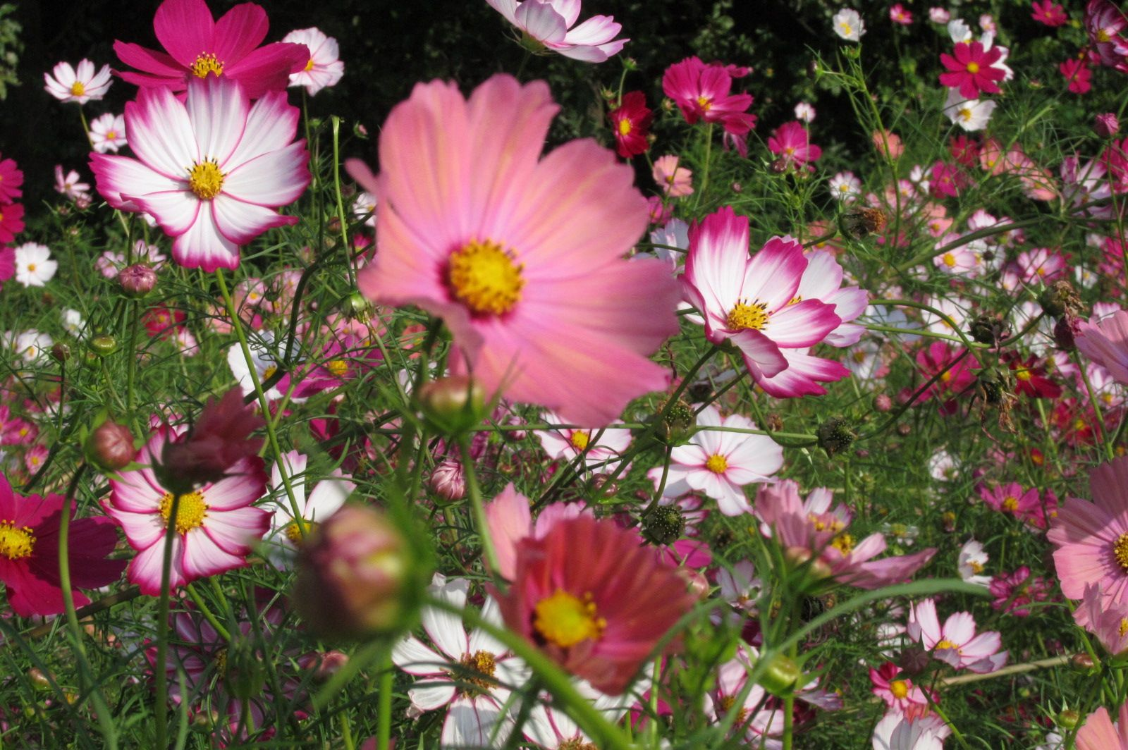 Pin Cosmos Flowers October Birth Month Flower on Pinterest